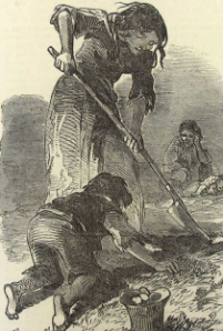 digging for potato during famine
